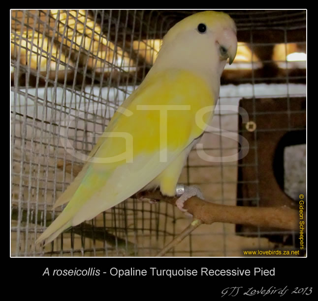Turquoise Opaline Recessive Pied