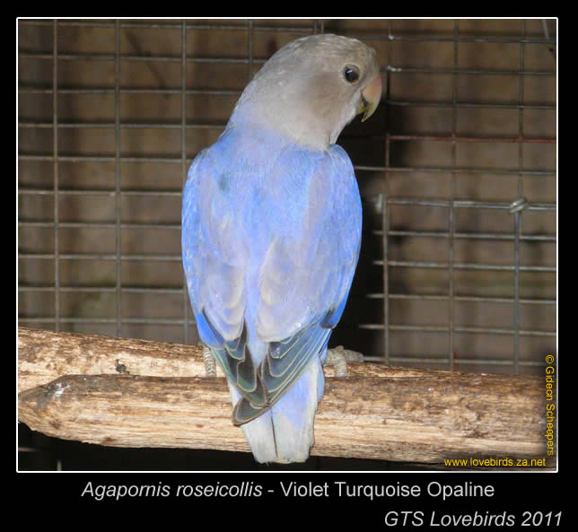 Violet Turquoise Opaline