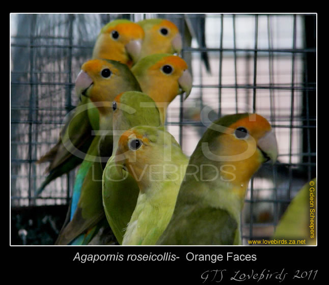 1_99_Lovebirds_11