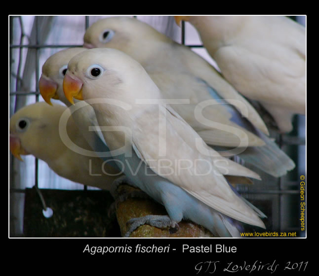 1_99_Lovebirds_16