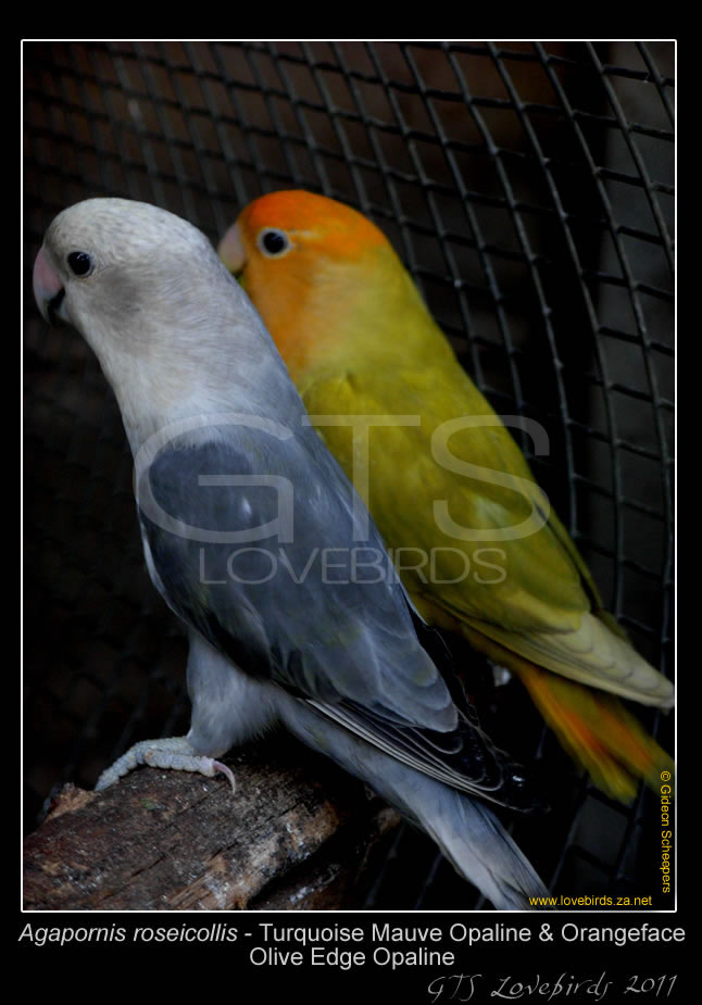 1_99_Lovebirds_32