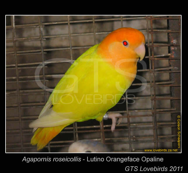 Orange Face Lutino Opaline